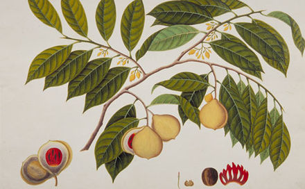 440px-Booa_Palla;_Nutmeg;_Myristica_moschata_(William_Farquhar_Collection,_1819–1823).jpg