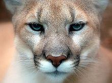 220px-Cougar_closeup.jpg