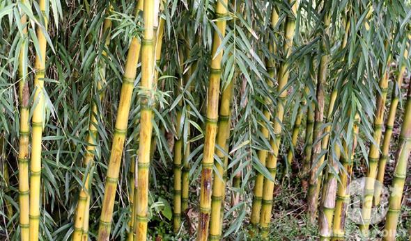entretien-bambou.jpg