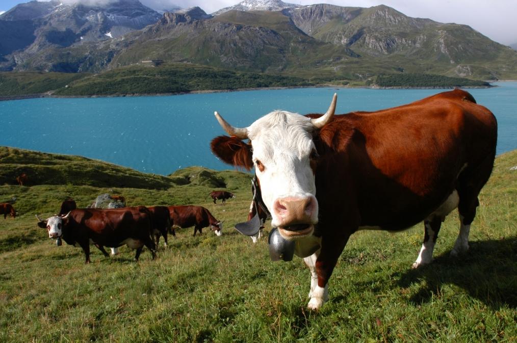 vache-abondance-en-alpage-1423.jpg