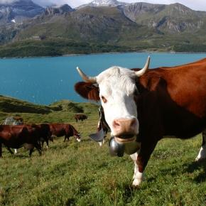 Compréhension orale n°14 Spécial Salon de l'agriculture! : «La vache Abondance, la vache du reblochon»• Niveaux B2-C1 •FLE